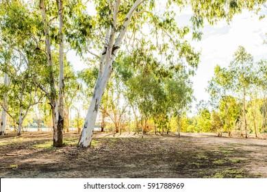 Eucalyptus or gum trees in Queensland, Australia by the banks of the Burdekin River