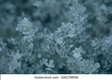 Eucalyptus gunnii as a background texture. Selective soft focus
