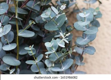 Eucalyptus gunnii with gray leaves