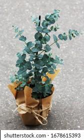 Eucalyptus gunnii in a pot