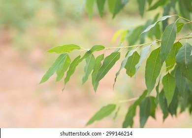 Eucalyptus leaf.