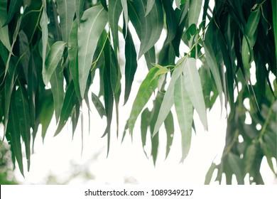 Eucalyptus Leaf. Select focus