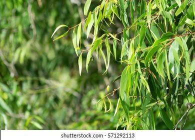 Eucalyptus leaves as background
