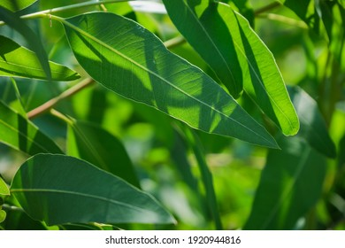 Eucalyptus leaves. branch eucalyptus tree nature background