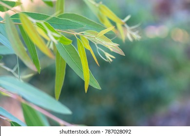 Eucalyptus leaves. branch eucalyptus tree nature background