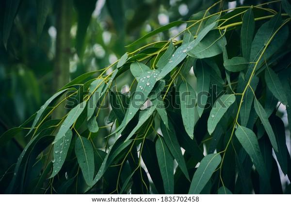 Feuilles d'eucalyptus. branche eucalyptus arrière-plan nature