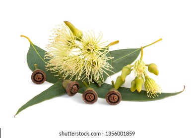 eucalyptus leaves with flowers and seeds isolated on white