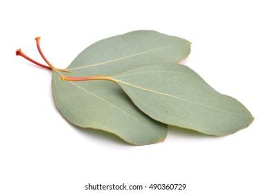 Eucalyptus leaves. Isolated on white background.