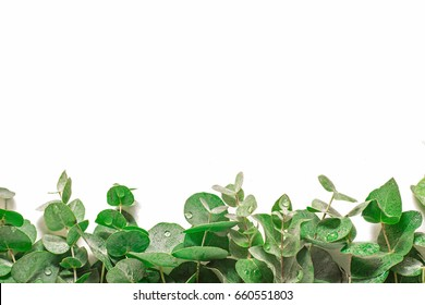 Eucalyptus leaves isolated on white background. Water drops on the leaves of eucalyptus. Background for a site design or landing page about food, health and flowers. A place for your inscriptions.