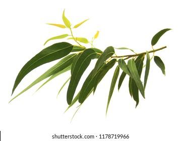 Eucalyptus leaves on the twig isolated on white background.