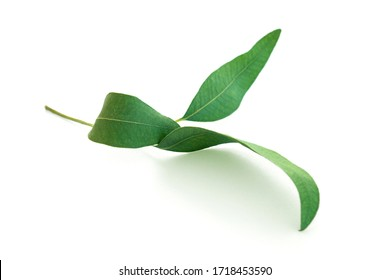 Eucalyptus leaves on white background. Medicinal herbs.