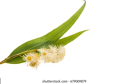 Eucalyptus leaves on a white background