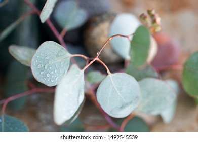 Eucalyptus leaves with water drops during an aromatherapy treatment.
