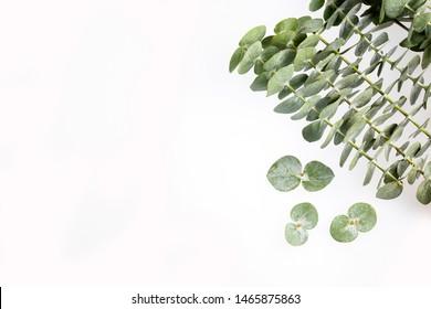 Eucalyptus little boy blue - Fresh and green leaves