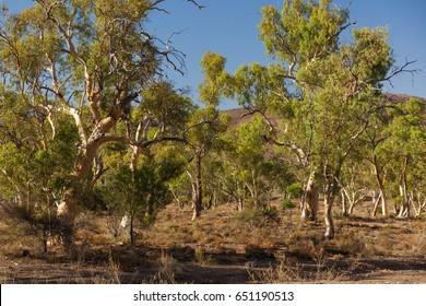 Eucalyptus on dry creek bed. Flinders Ranges. South Australia.
