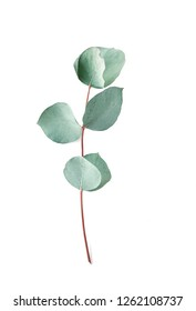 Eucalyptus on white background.  Fresh eucalyptus leaves. Flat lay, top view.   Items for Wedding or greeting cards.