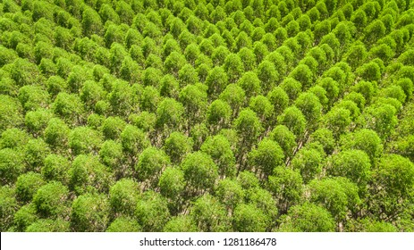 Eucalyptus plantation in Brazil - cellulose paper agriculture - birdseye drone view. Top view. Eucalyptus Green Forest Aerial View.