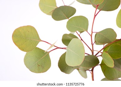 Eucalyptus polyanthemos leaves in front of white background