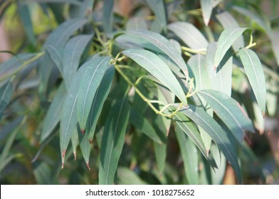 Eucalyptus radiata or narrow-leaved peppermint or forth river peppermint