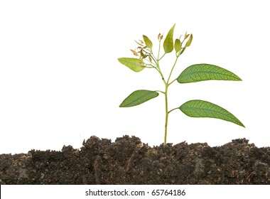 Eucalyptus seedling growing from soil