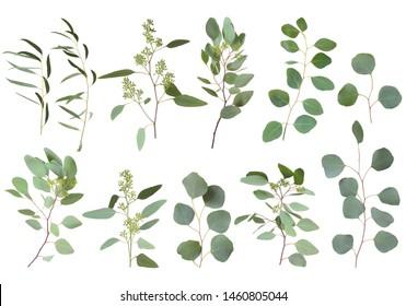 Eucalyptus silver dollar greenery, gum tree foliage natural leaves & branches designer art tropical elements set bundle photo. Image decorative beautiful elegant set - Image