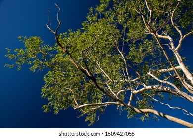 Eucalyptus tree with blue sky as background with copy space bottom right – Design Element