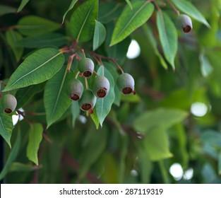 Eucalyptus tree branch