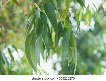 Eucalyptus tree branch