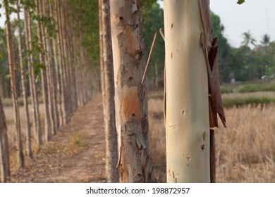 Eucalyptus tree field