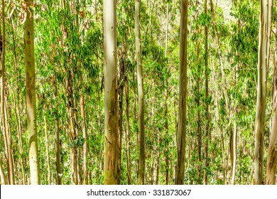 Eucalyptus Tree Forest In Andes Mountains