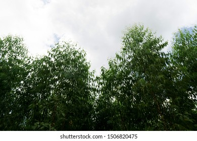 Eucalyptus tree at forest background, eucalyptus forest for paper industry.
