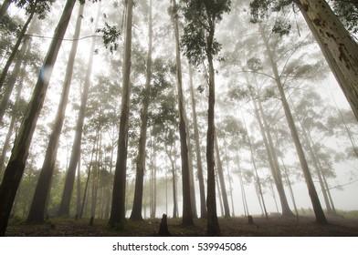 Eucalyptus tree forest at Munnar, kerala, India