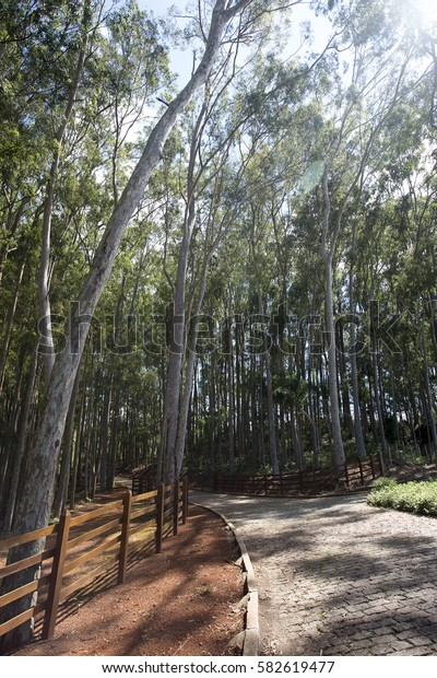 Eucalyptus, tree genus with over 700 species, most native to Australia, used worldwide for the production of cellulose and wood, in brazil