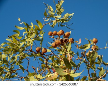 Eucalyptus tree gumnuts in remote Kimberley region in Australia.