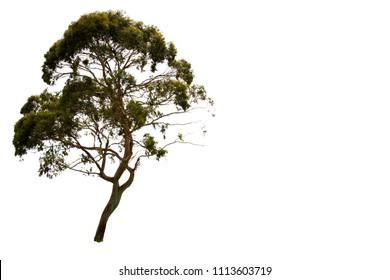 Eucalyptus tree isolated.