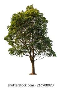 Eucalyptus tree, isolated on white