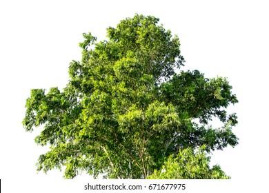 Eucalyptus tree isolated on white for decoration design.