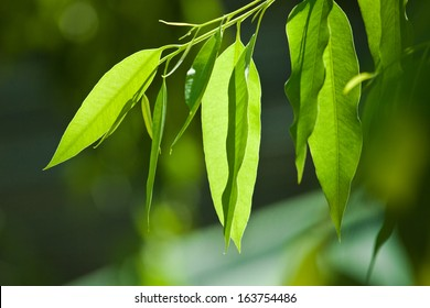 Eucalyptus tree, leaves