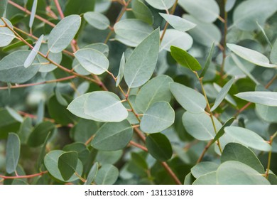 Eucalyptus tree leaves close up