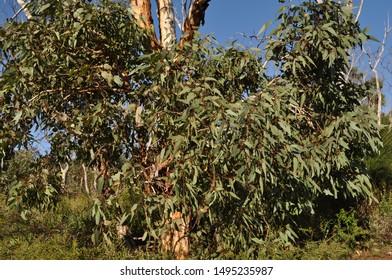 Eucalyptus tree on the Whistlepipe Gully Walk, Mundy Regional Park, Perth Hills, Western Australia, Australia