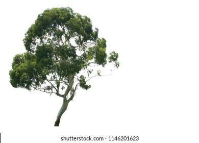 Eucalyptus tree on white background. Thick foliage.