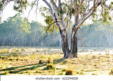 Eucalyptus tree in paddock, New South Wales, Australia