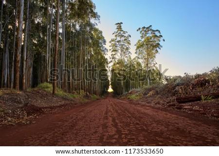 Eucalyptus Tree Plantation Exceeding During Regeneration Stock Photo