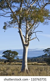 Eucalyptus tree with smooth trunk in late afternoon light. Tasmania, Australia