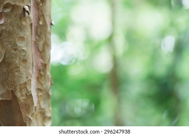 Eucalyptus tree trunk closeup.Green leaves background. Beautiful autumn morning in the forest. Vintage retro effect style pictures. Blur bokeh background.