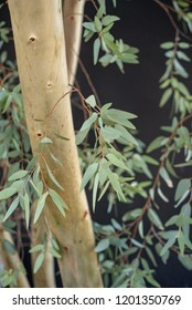 Eucalyptus tree trunk and leaves