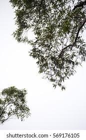 Eucalyptus tree white background, portrait.