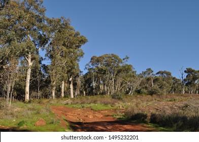 Eucalyptus trees  and bushland on the Whistlepipe Gully Walk, Mundy Regional Park, Perth Hills, Western Australia, Australia