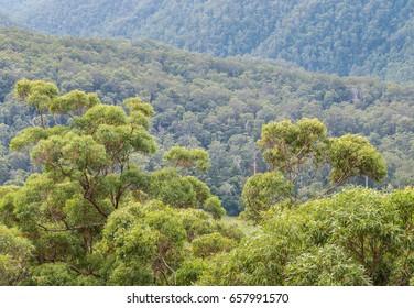 eucalyptus trees growing in Gondwana rainforest in Springbrook National Park