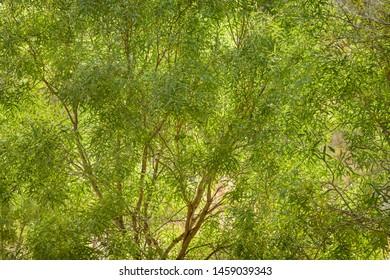 Eucalyptus trees growing in rural Northern Terroties in Australia.